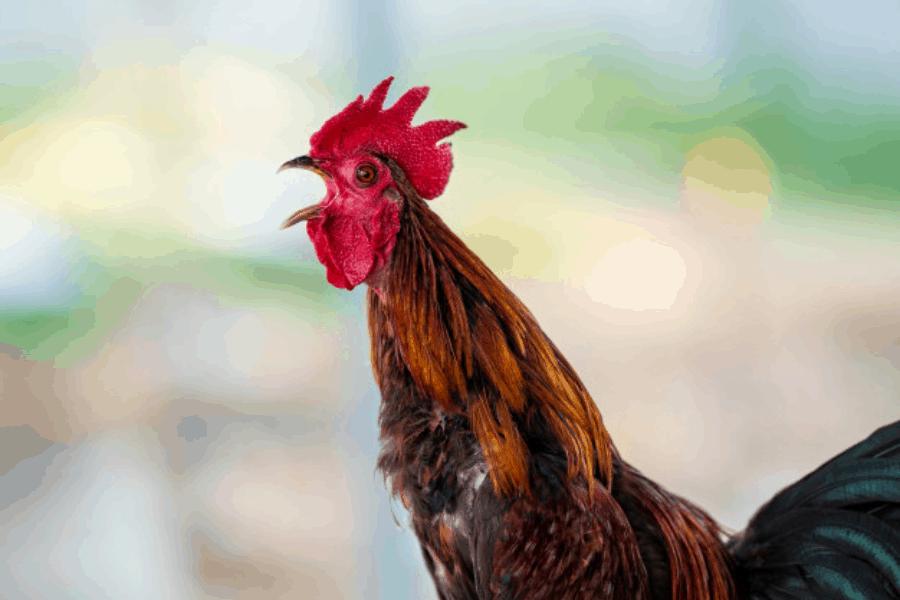 Xem vảy của chiến kê để chọn gà chọi chính xác nhất