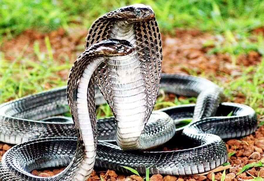 Nằm mơ thấy 4 con rắn hổ mang điềm báo và con số trúng đề