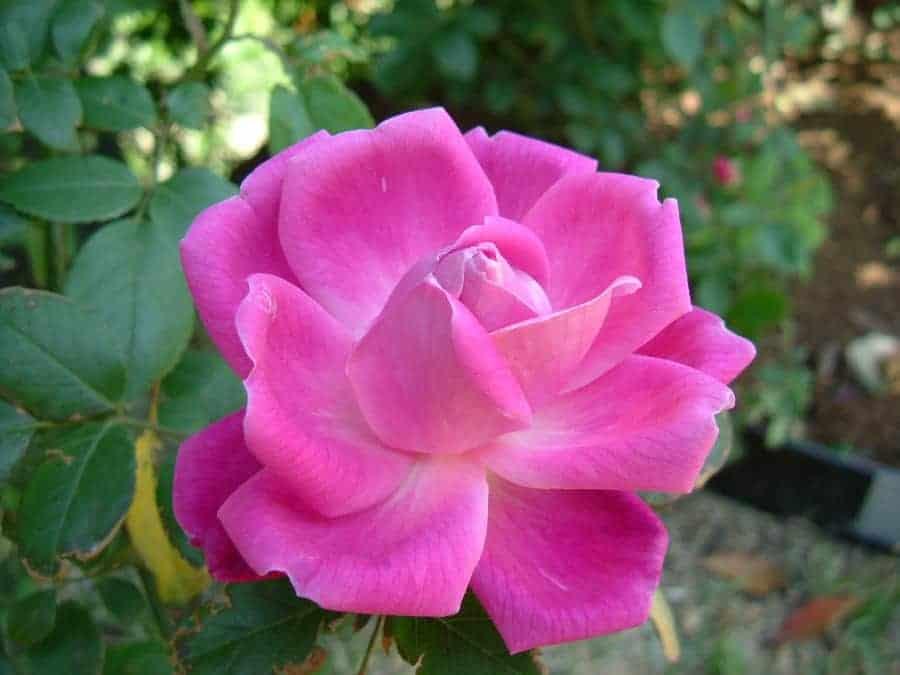 Giải mã giấc mơ thấy hoa hồng và chọn số
