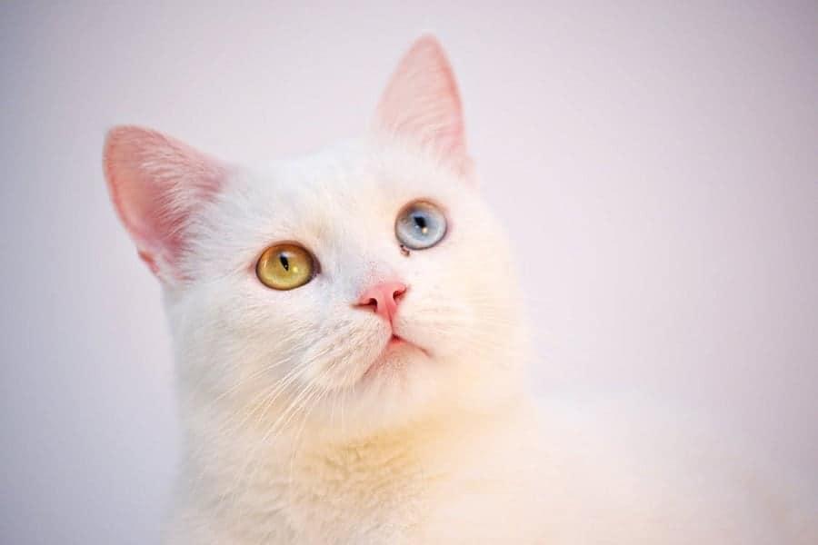 Giải mã giấc mơ thấy mèo trắng và các con số liên quan